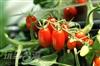 玉女蕃茄園