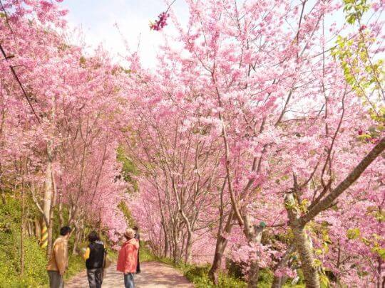 賞櫻花住松林 相片來源:拉拉山松林渡假山莊