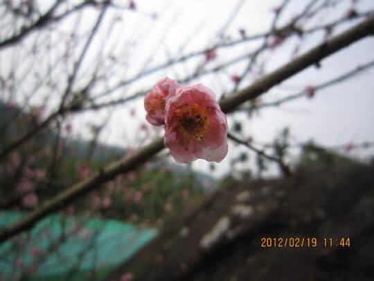 101年櫻花 相片來源:古坑懷古驛棧民宿