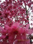 101年櫻花