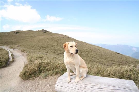 古錐的小米 相片來源:清境家園景觀山莊