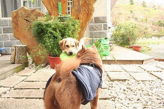 小米:鬆獅哥哥一起去玩飛盤吧~* 相片來源:清境家園景觀山莊