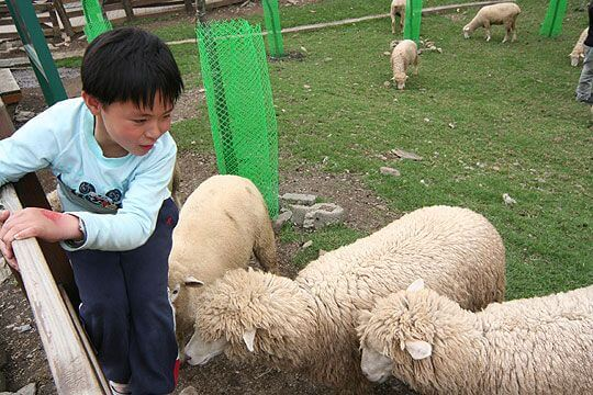 青青草原的綿羊還是一樣可愛 相片來源:清境家園景觀山莊