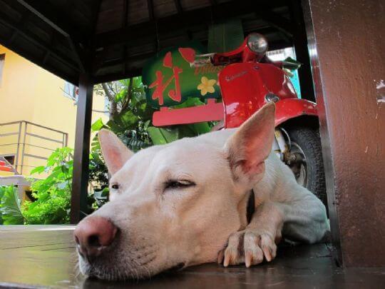 好像一隻大老鼠的梵思 相片來源:小琉球~八村旅店villa館