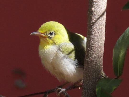 學飛的綠繡眼-幼鳥 相片來源:小琉球~八村旅店villa館