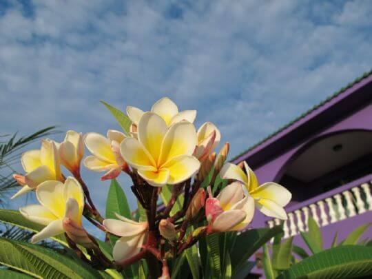 滿園雞蛋花 相片來源:小琉球~八村旅店villa館