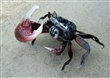 巨型招潮蟹來嘍!