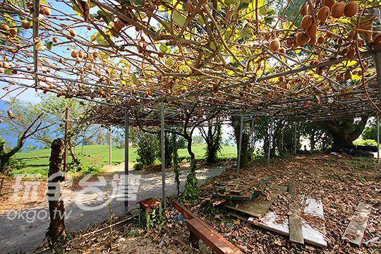 綠色奇異果園 相片來源:清境‧維也納庭園木屋