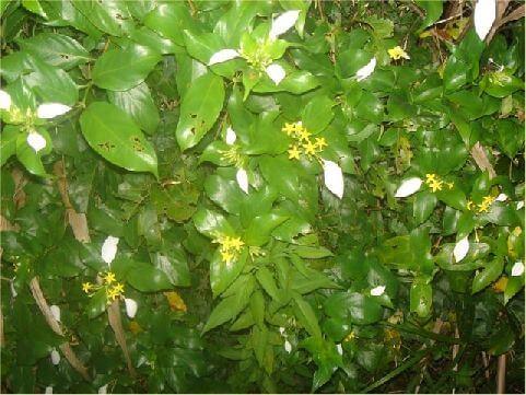 玉葉金花- 夏季開花,花冠金黃色,長漏斗狀,因而稱「金花」。一朵玉葉金花的花萼有5枚萼片,其中一片常特化成花瓣狀,色如白玉,形狀又如葉子,故稱之為「玉葉」。 相片來源:綠島長泰海景民宿