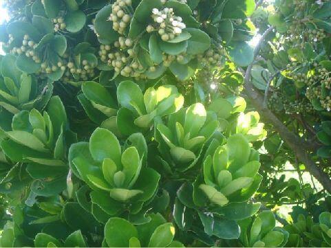 蘭嶼樹杞- 在中寮、公館、柚子湖分佈最多,因此,中寮和公館使用蘭嶼樹杞當做綠籬植物也就特別的多。 相片來源:綠島長泰海景民宿