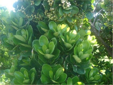 蘭嶼樹杞- 樹型美麗,果實味美,也不懼強風鹹雨,是綠島人的最愛。當地人都稱它為「山豬肉」,也許是果實特別好吃的緣故吧! 相片來源:綠島長泰海景民宿