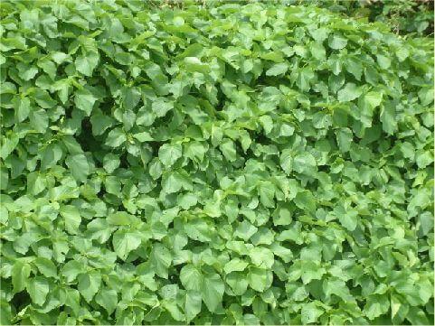 鹿仔草- 花序呈穗狀,一條條的,真的好可愛,可惜姿色平凡,否則足可跟觀賞用的「長穂鐡莧」相媲美。 相片來源:綠島長泰海景民宿
