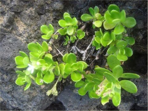 水芫花 花期甚長,從初春到深秋,幾乎皆可見到朵朵白花綴枝頭,花瓣有皺縮的現象,這是植物界並不常見的特徵。 相片來源:綠島長泰海景民宿
