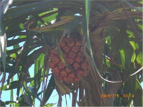 林投樹- 嫩莖作為豬飼料,嫩芽可以炒食,果實可用來誘捕椰子蟹和寄居蟹,莖幹當畜舍建材,固持根製成漆刷,枯枝上長的紅芝(林投菇)煮成靈芝茶消暑解渴,是多用途的植物。 相片來源:綠島長泰海景民宿