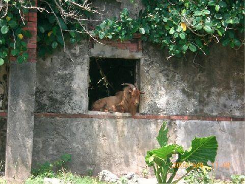 落寞的老山羊 相片來源:綠島長泰海景民宿