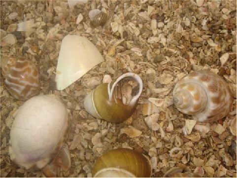 寄居蟹 在綠島處處可以看見寄居蟹,別看到它揹著瓶蓋覺得很稀奇、很有趣,那可是因為大多遊客將它的外殼碾碎了,導致它無家可歸,只好用其他稀奇古怪的物品來當它的家,聽說最古怪的就是用嬰兒的小鞋子喔! 相片來源:綠島長泰海景民宿