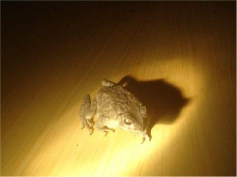 黑框蟾蜍 相片來源:綠島長泰海景民宿