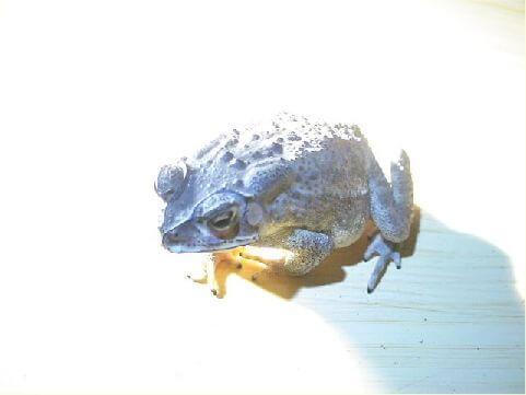 黑框蟾蜍- 從山區到家屋附近都可以看到,白天躲在陰暗處,晚上才會出來覓食,經常成群聚在路燈下捕食掉落的昆蟲。 相片來源:綠島長泰海景民宿