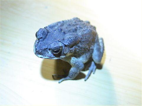 黑框蟾蜍- 主要的特色為沿著眼框到唇上方具有一條黑線,眼睛後有兩條凸起的耳後線,身體上有許多顆粒狀凸起的腺疣,所以看起來較為粗糙,而另一個特別的地方,就是它有著黑色的指甲。 相片來源:綠島長泰海景民宿