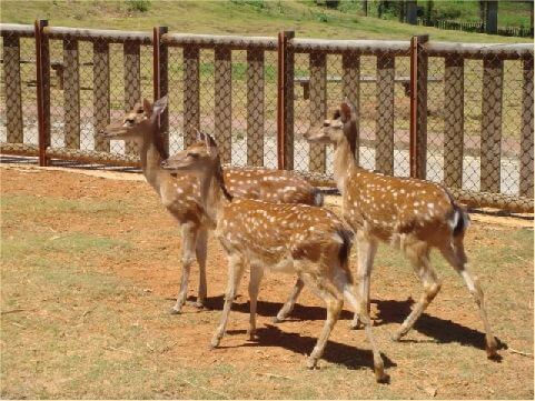 梅花鹿- 雄鹿從兩歲時開始長角,通常角台剝落後75天,鹿茸開始可以採割,所以鹿茸酒也成為綠島的特產。 相片來源:綠島長泰海景民宿