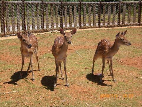 梅花鹿 綠島的梅花鹿全省有名,且成為夜遊綠島必賞夜景之一,由於梅花鹿的警戒心超高,所以夜遊時一定要快狠準才看的到。 相片來源:綠島長泰海景民宿
