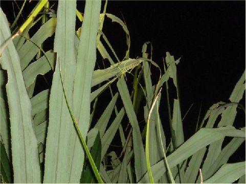 津田氏大頭竹節蟲- 為綠島珍貴稀有的保育類野生動物,白天棲息在林投葉面中肋凹溝處,夜間才開始進食及活動。 相片來源:綠島長泰海景民宿