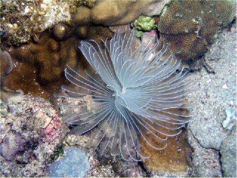 管蟲 相片來源:綠島長泰海景民宿