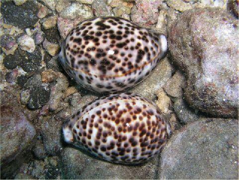 黑星寶螺 相片來源:綠島長泰海景民宿