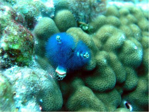 旋鰓蟲藍 相片來源:綠島長泰海景民宿