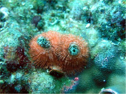 旋鰓蟲紅 相片來源:綠島長泰海景民宿
