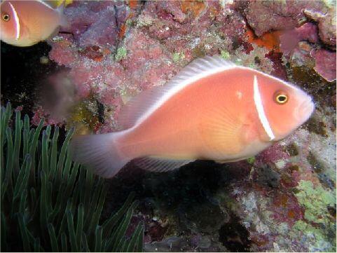 粉紅小丑魚 相片來源:綠島長泰海景民宿