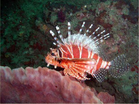 獅子魚 相片來源:綠島長泰海景民宿
