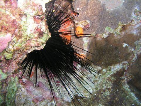 魔鬼海膽 相片來源:綠島長泰海景民宿