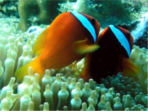 白條海葵魚 相片來源:綠島長泰海景民宿