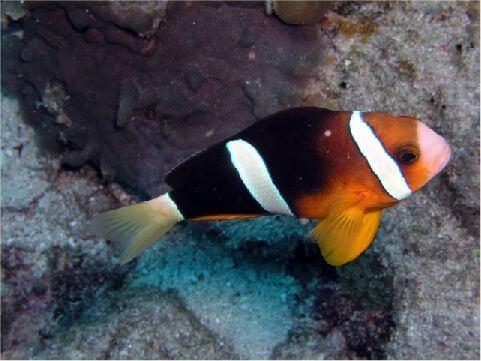 克氏小丑魚 相片來源:綠島長泰海景民宿