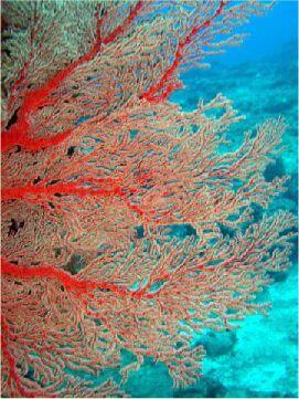 紅扇珊瑚 相片來源:綠島長泰海景民宿