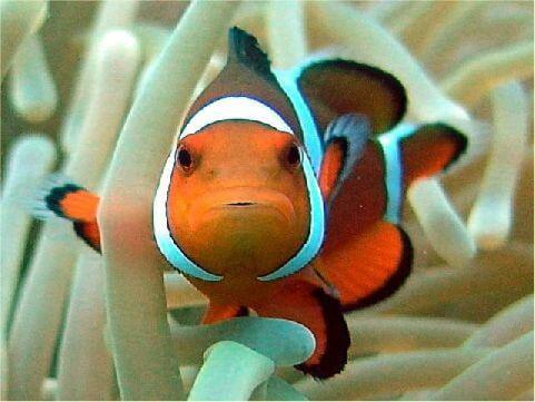 眼斑小丑魚 相片來源:綠島長泰海景民宿