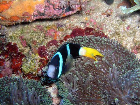 綠島地處熱帶北緣,海水清澈,又有黑潮流經及湧昇流存在,各項優異條件配合,使得四周海域的海洋生物,無論種類或數量皆異常豐富,珊瑚礁魚類又稱為熱帶魚。 相片來源:綠島長泰海景民宿