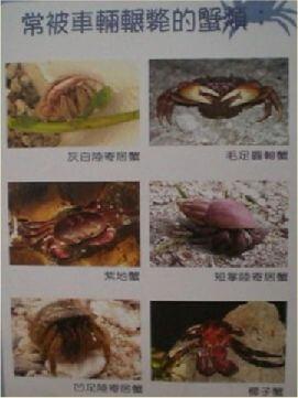在綠島騎車環島暢快愜意,不過一不小心就會造成椰子蟹、陸蟹、蜥蜴慘死輪下。 相片來源:綠島長泰海景民宿