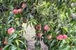 營區水蜜桃