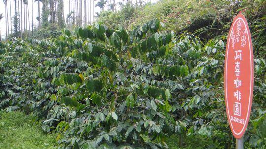 咖啡第一園 相片來源:瑞里阿喜紫藤民宿