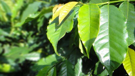 咖啡第二園 相片來源:瑞里阿喜紫藤民宿