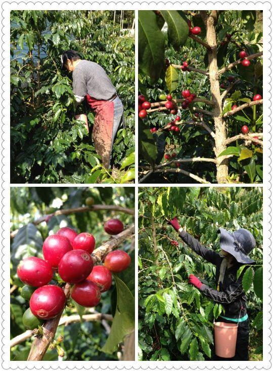 採收咖啡豆~ 相片來源:瑞里阿喜紫藤民宿