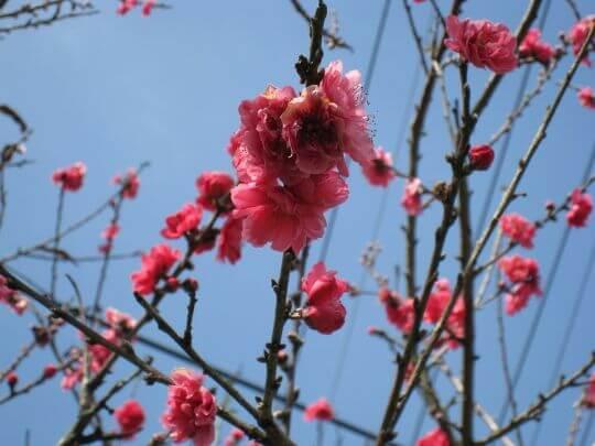山櫻花 相片來源:瑞里茶壺民宿