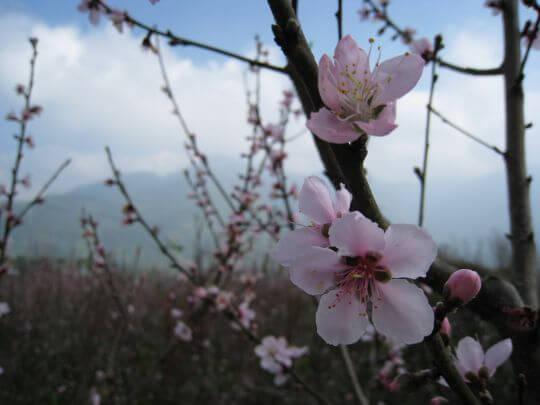 來個特寫~桃花 相片來源:瑞里茶壺民宿
