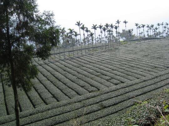 茶山 相片來源:瑞里茶壺民宿