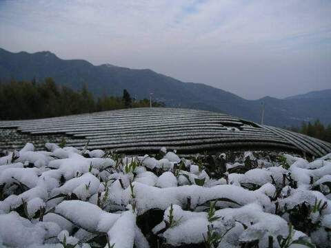 瑞里三月雪 相片來源:瑞里茶壺民宿
