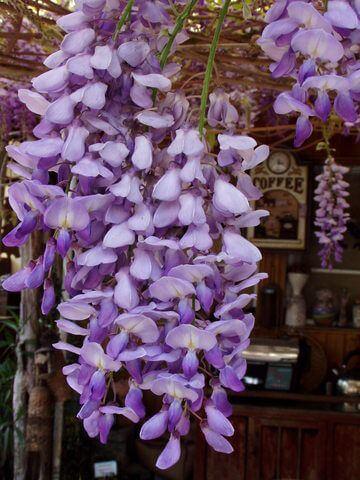 紫藤 相片來源:瑞里茶壺民宿