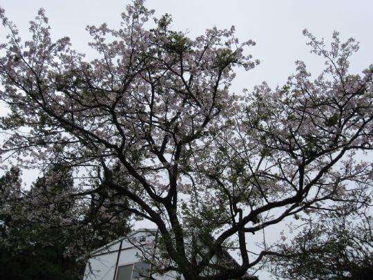 2008阿里山櫻花and百花盛開 相片來源:瑞里茶壺民宿