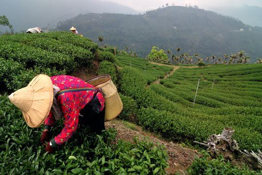 採茶篇 相片來源:瑞里幼葉的林民宿